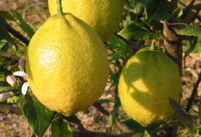 無農薬レモンは優しいお味