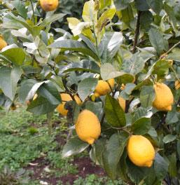 防腐剤・ワックス不使用の有機JASレモン