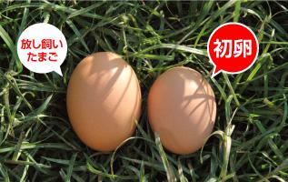 初卵は希少な縁起物
